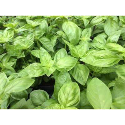 Basil stem